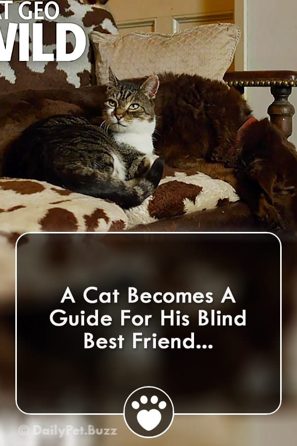 A Cat Becomes A Guide For His Blind Best Friend...