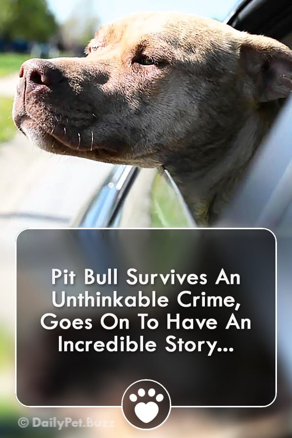 Pit Bull Survives An Unthinkable Crime, Goes On To Have An Incredible Story...