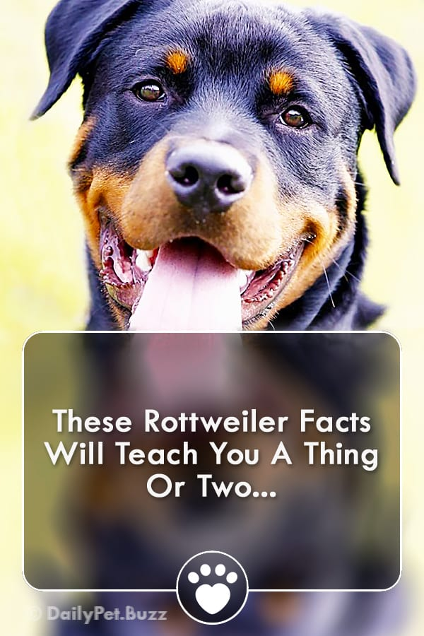 These Rottweiler Facts Will Teach You A Thing Or Two...